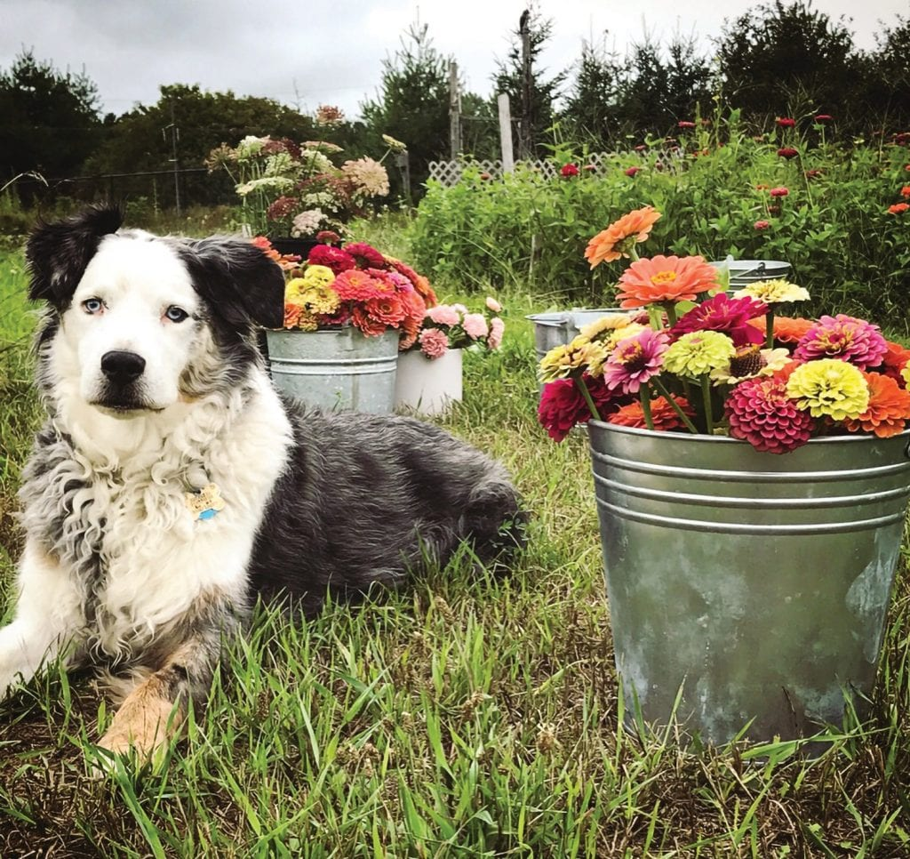 Buckley the dog sits among a small sample of a days flower harvest keeping Marc Green and Jamie Platte, of Pontius Flower Shop and flower farm, company. Photo courtesy Jamie Platte